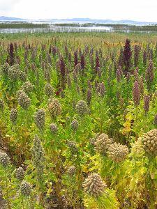 450px-Lanscape_with_Chenopodium_quinoa_Cachilaya_Bolivia_Lake_Titicaca